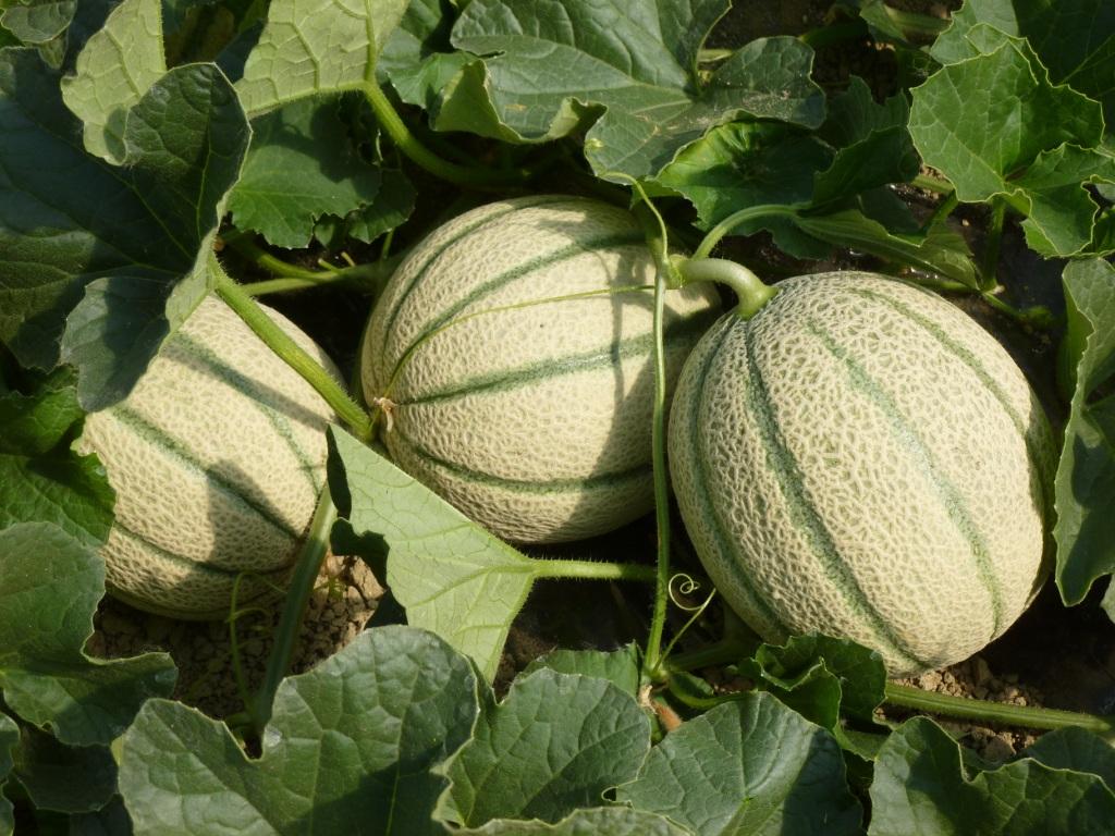Pianta-di-melone