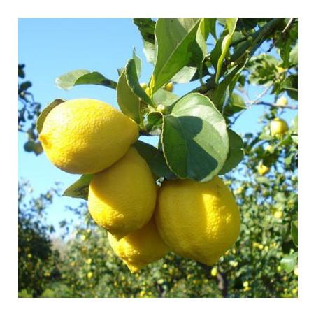limoni-di-sicilia